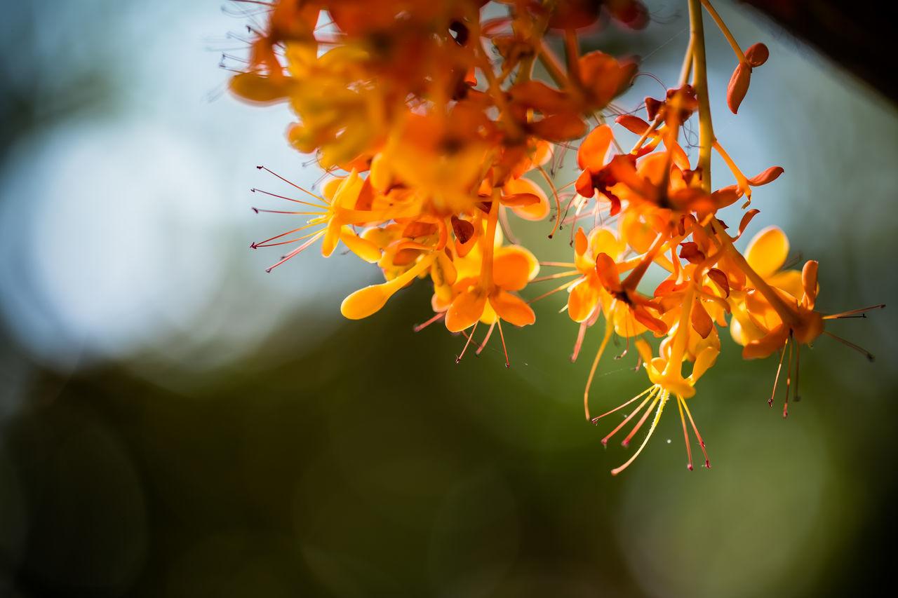 Beautiful stock photos of blumen, Ashoka Tree, Beauty In Nature, Blooming, Chiang Mai