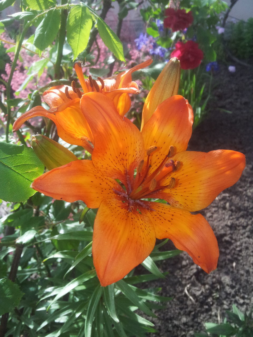 flower, growth, petal, fragility, beauty in nature, flower head, freshness, nature, orange color, plant, no people, outdoors, day, day lily, blooming, close-up