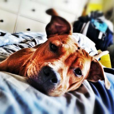 Pitstagram Pitbullinstagram Pitbulls Doglover dog dogs dontbullymypitbull love pupy instapit instadog pitstagram sleepy