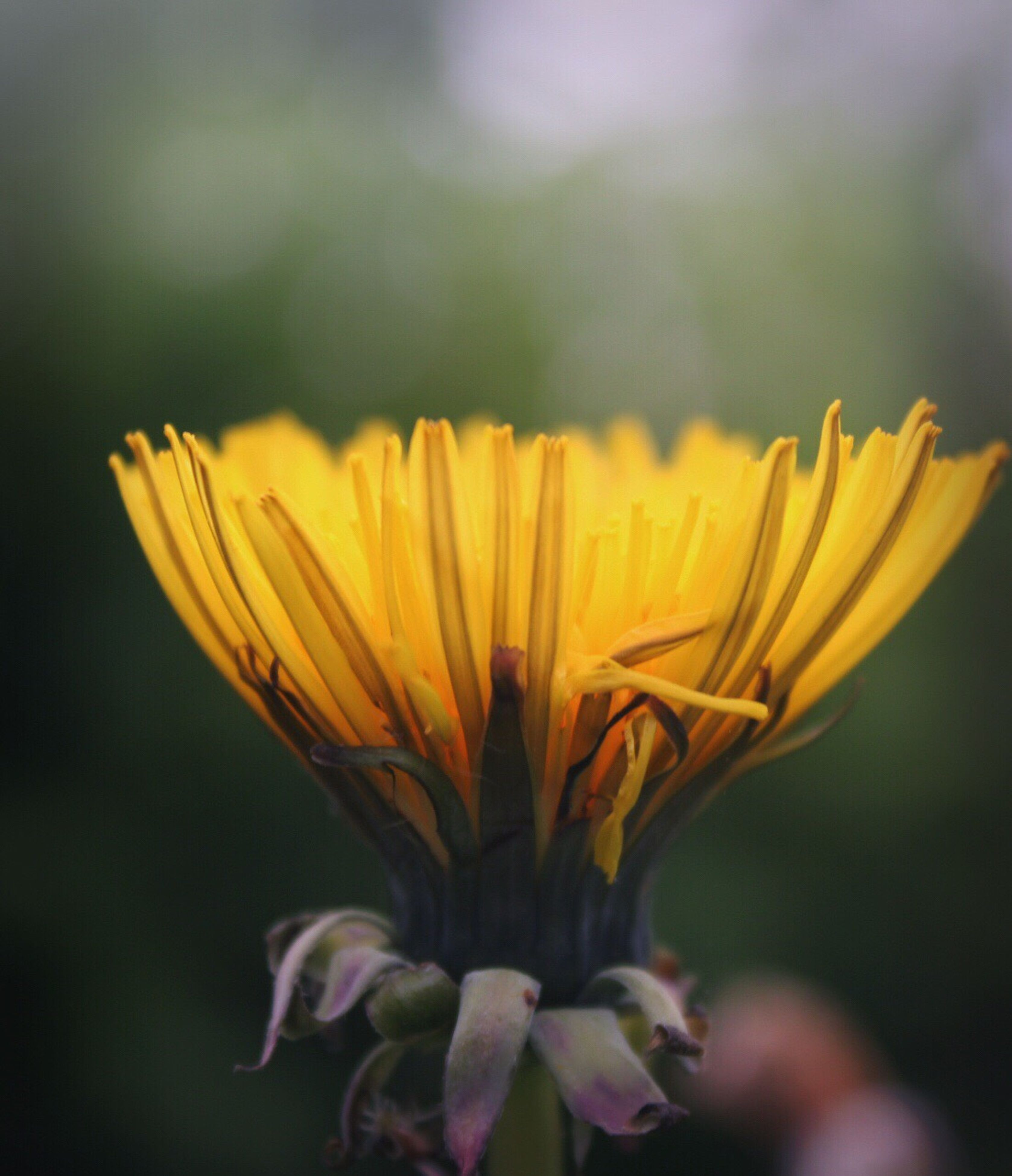 flower, petal, growth, nature, fragility, freshness, yellow, beauty in nature, flower head, plant, blooming, field, outdoors, springtime, close-up, day, no people, sky