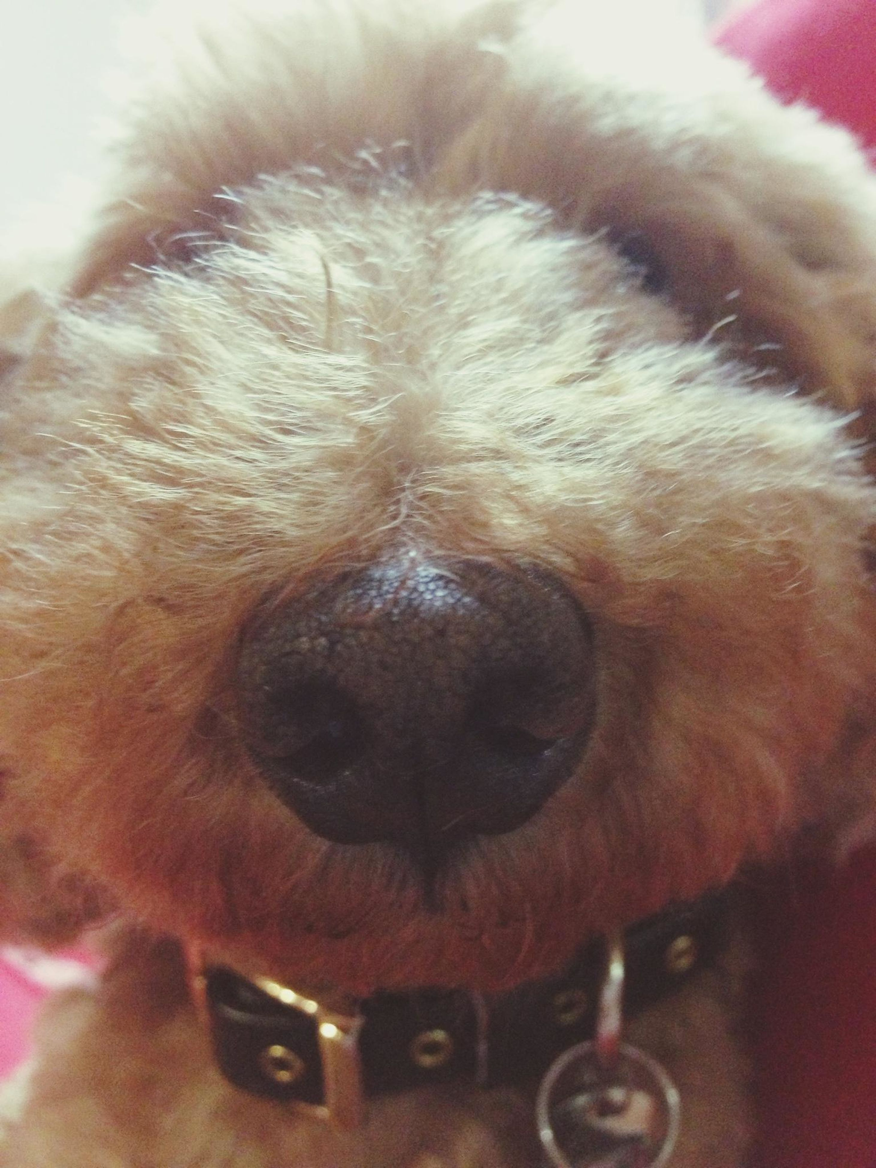domestic animals, one animal, animal themes, pets, dog, mammal, close-up, animal head, animal body part, indoors, portrait, part of, looking at camera, extreme close-up, extreme close up, snout, animal eye, animal nose, focus on foreground, no people