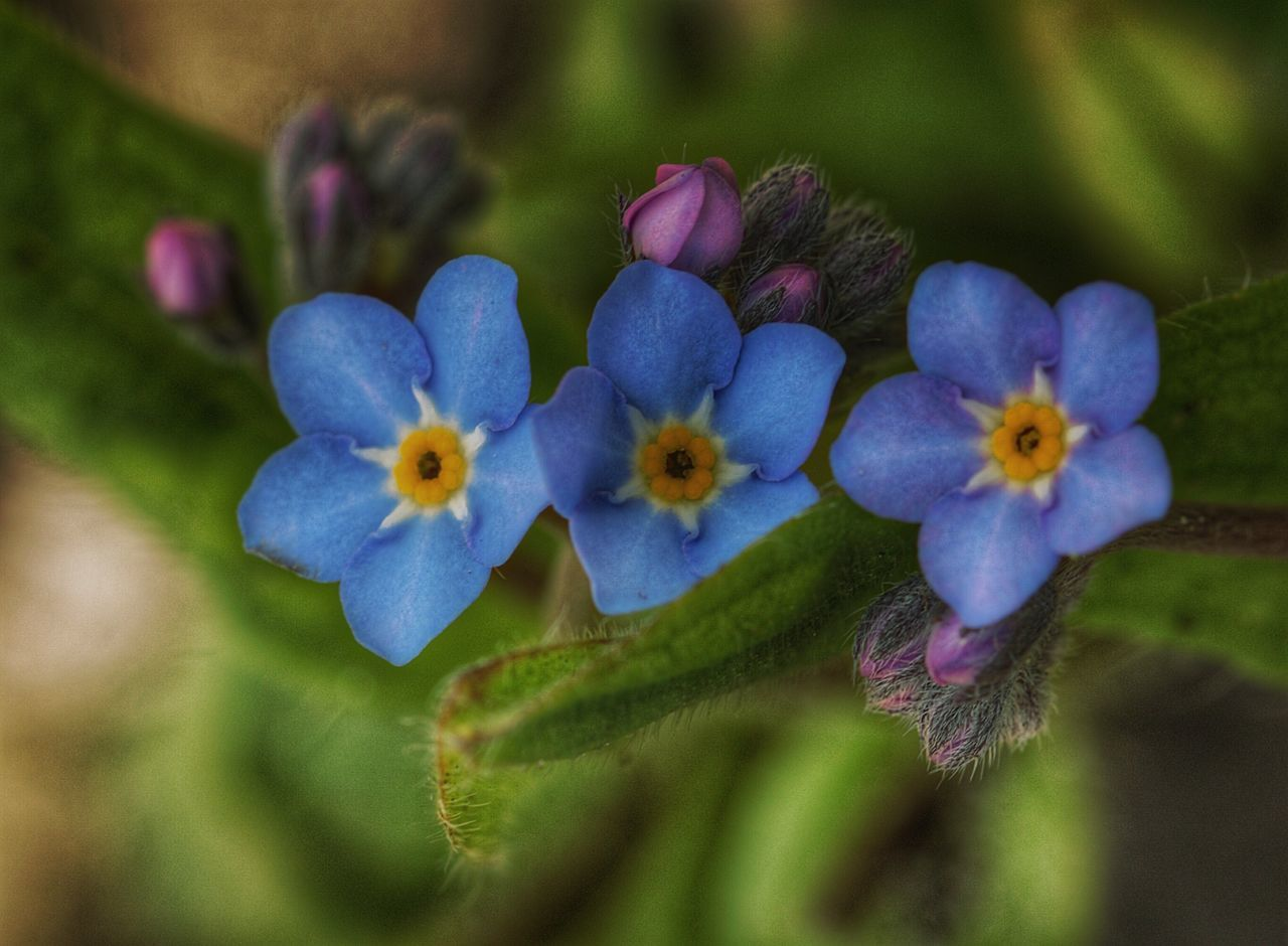 Forget Me Not Flowers Blue Macro