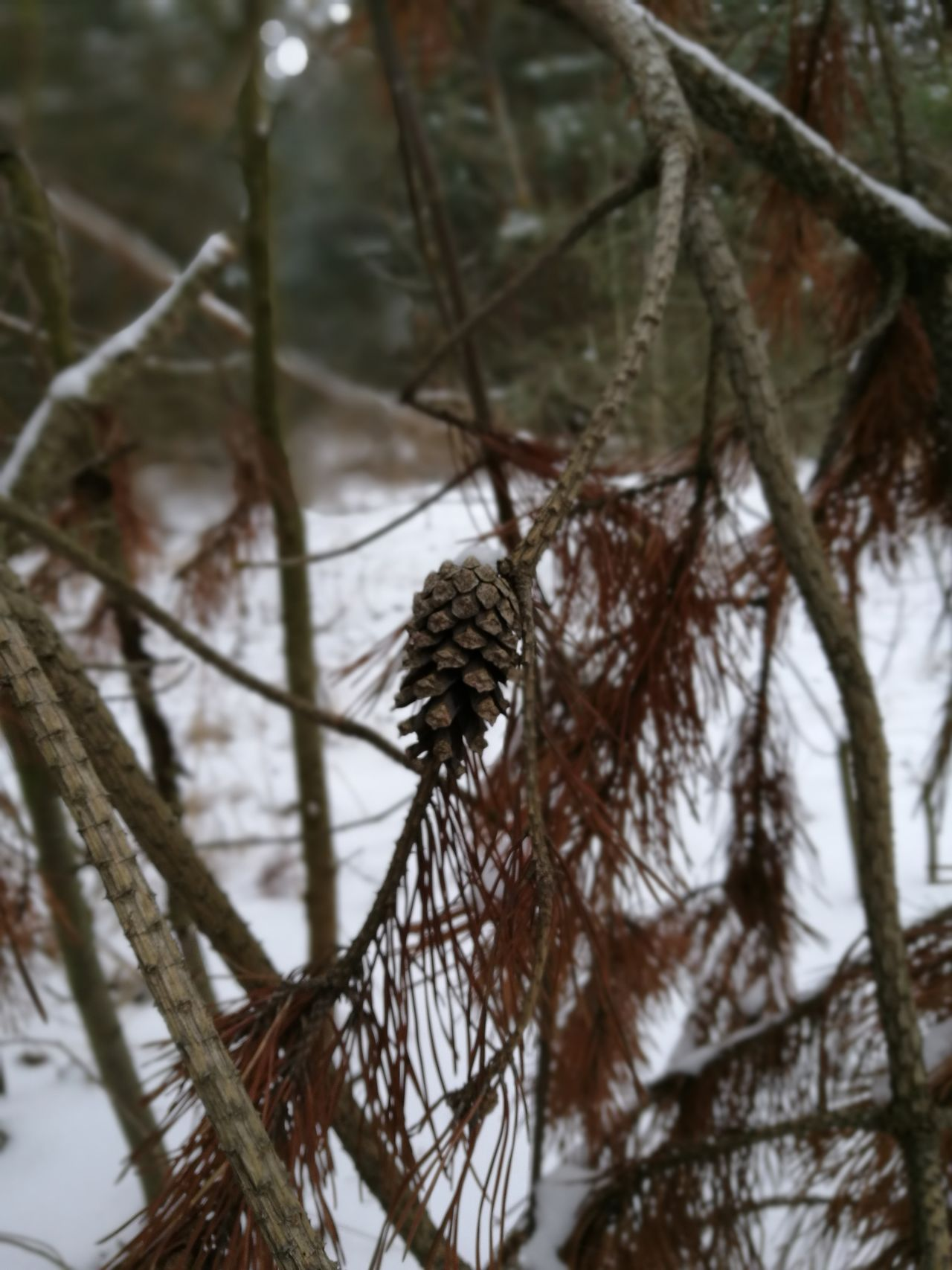 Cone Winter Nature Cold Temperature Branch Snow Tree Day Outdoors No People Close-up Beauty In Nature