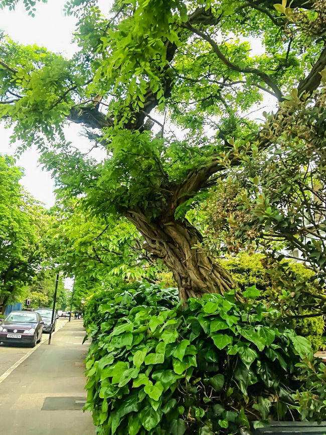 Tree Tree And Sky TreePorn Tree Trunk Green Leaves Trees Collection Tree Porn Tree And Bushes Tree And Road Tree Branches Tree_collection  Old Tree Large Tree Leaning Tree Beautiful Nature Outdoor Photography Color Photography Colour Photography Colours Of Spring Roadside Shots Road View Roadsidephotography Cars On The Road EyeEm Gallery