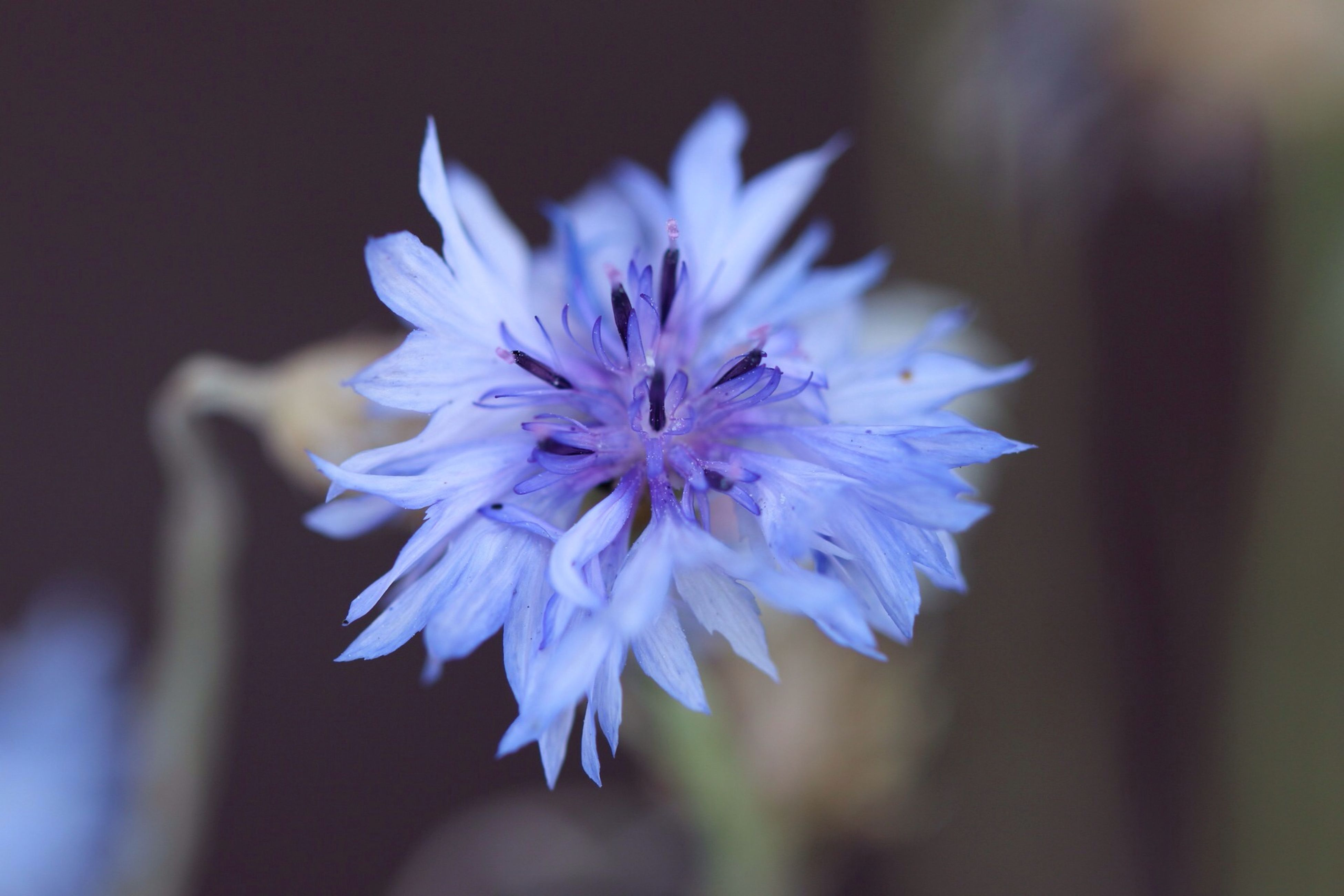 flower, petal, freshness, fragility, flower head, purple, close-up, focus on foreground, growth, beauty in nature, single flower, nature, blooming, selective focus, pollen, in bloom, plant, blossom, blue, stem