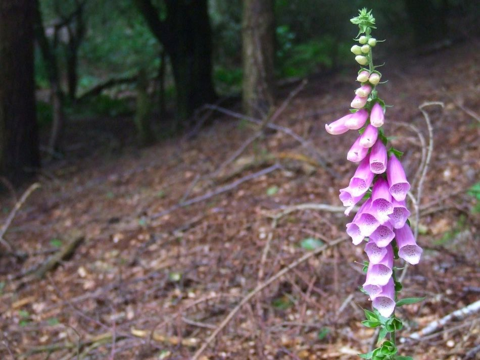 Close-up Country Park Flower Flower Head Focus On Foreground Foxglove Foxglove Flower Nature No People Outdoors Plant Woodland Walk