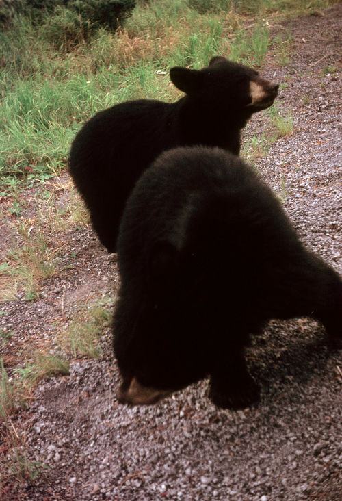 BEARS ON THE TRAIL Bear Cubs BEARS ON THE TRAIL Bears Playing Black Bears BROWN BEARS MONTANA WILD LIFE Animal Themes Animals In The Wild Day Mammal Outdoors