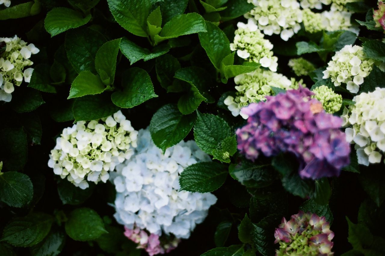 Beauty In Nature Close-up Day Film Photography Filmisnotdead Flower Flower Head Fragility Freshness Green Color Growth Hydrangea Leaf Nature No People Outdoors Plant