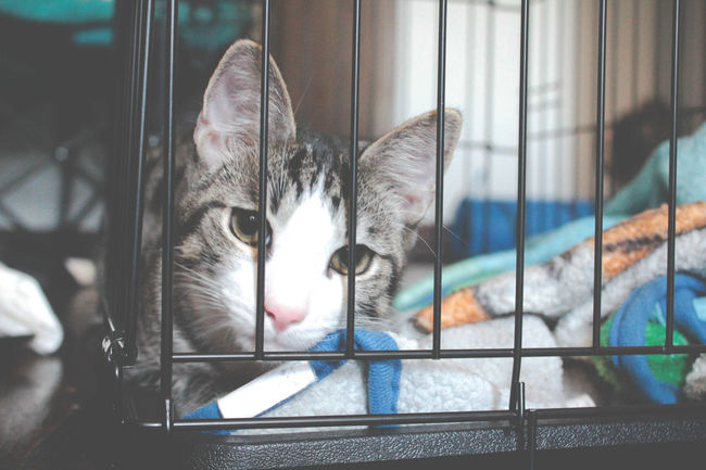 Animal In Cage Animal Themes Cage Cat Cat In Cage Close-up Domestic Animals Domestic Cat Feline Horizontal In Trouble Indoors  Looking Through Mammal Mischievous Mischievous Cat No People One Animal Peeking Pets
