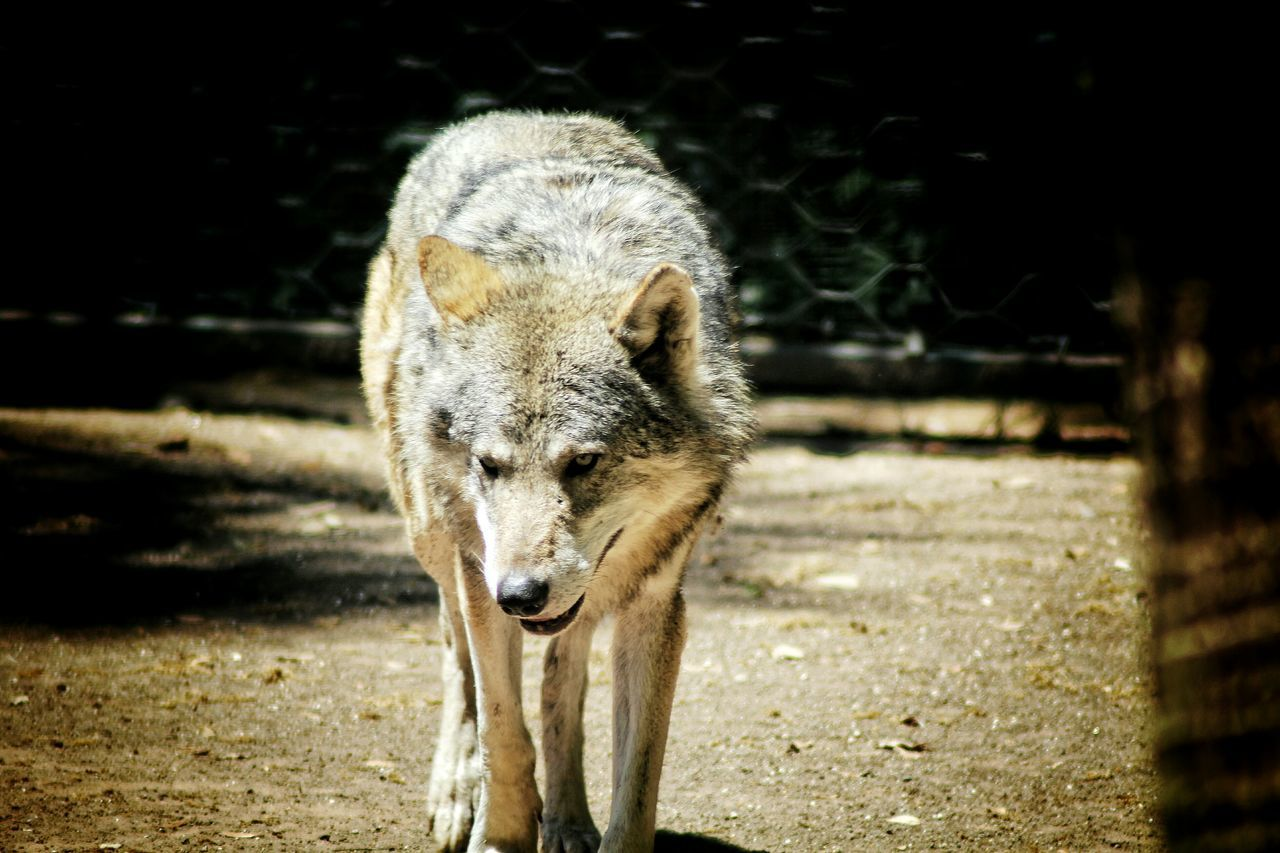 Beautiful stock photos of wolf, Animal Themes, Animals In The Wild, Beauty In Nature, Day