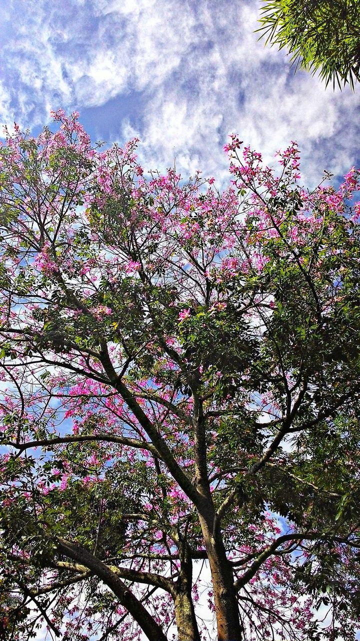 tree, flower, blossom, branch, growth, beauty in nature, low angle view, nature, fragility, springtime, pink color, no people, freshness, sky, day, cloud - sky, outdoors, close-up, flower head