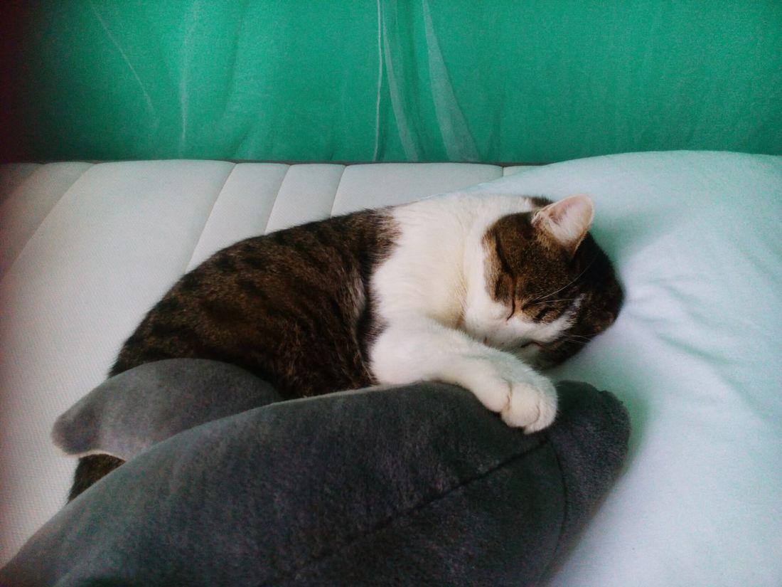 Feline Domestic Animals Gattidiinstagram Miaouuuuu😸 Delfines Los Amo😍😍 Dormir 🇧🇷❤️🙏🏼 Zzzzz🐶🐾💤