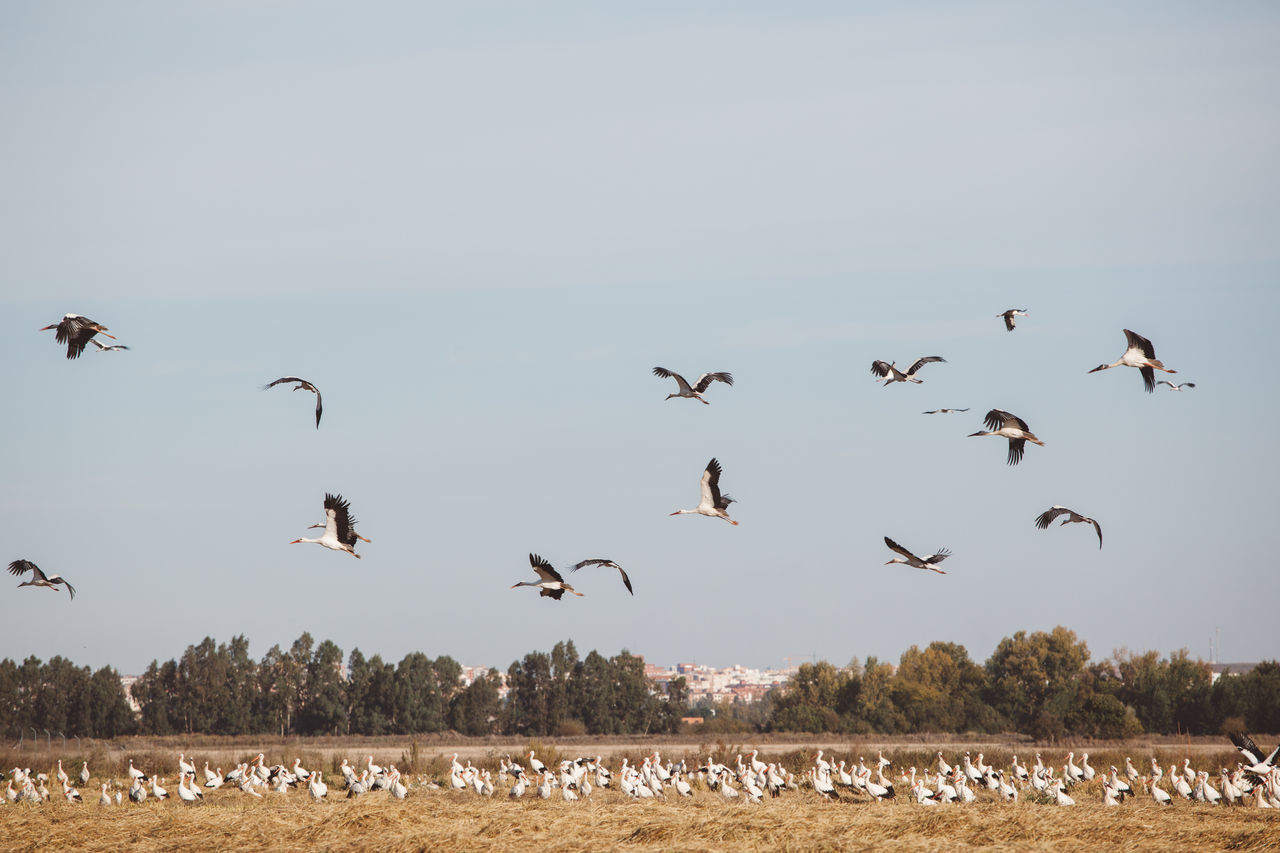 Animal Themes Animal Wildlife Animals In The Wild Beauty In Nature Bird Day Flock Of Birds Flying Landscape Large Group Of Animals Migrating Nature Nature Reserve No People Outdoors Scenics Sky Spread Wings Stork Storks