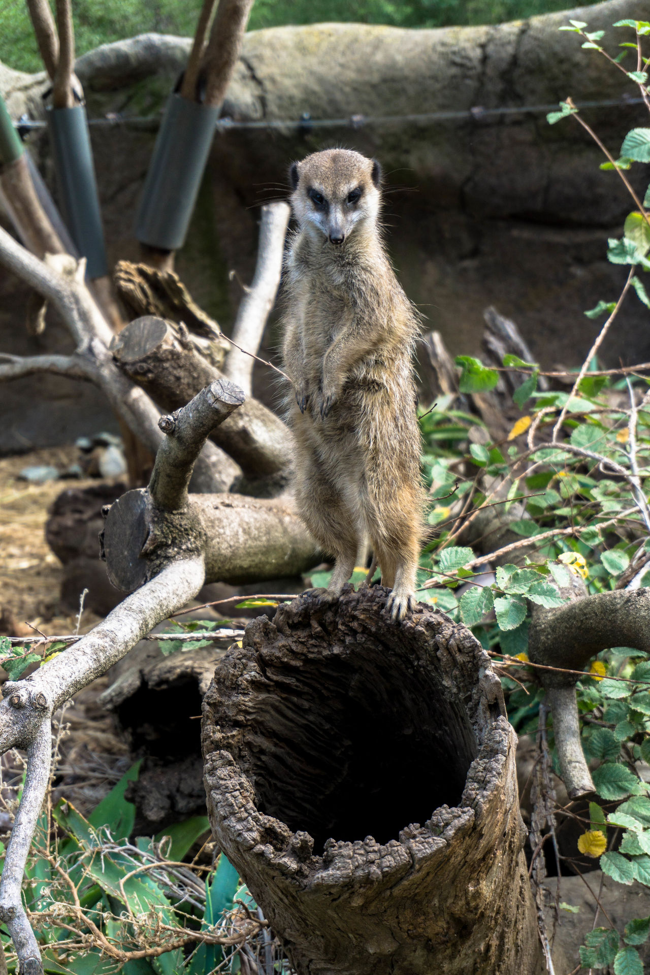Animal Themes Animal Wildlife Animals In The Wild Day Full Length Mammal Meerkat Nature No People One Animal Outdoors Tree