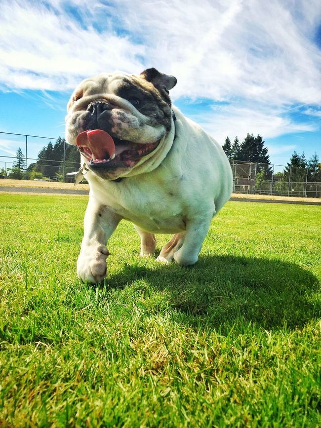 Bulldog Grass Animal Themes Domestic Animals One Animal Dog Pets Grassland Mammal Front View Sky Green Color Landscape Zoology Field Animal Green Grassy Full Length Cloud Cloud - Sky