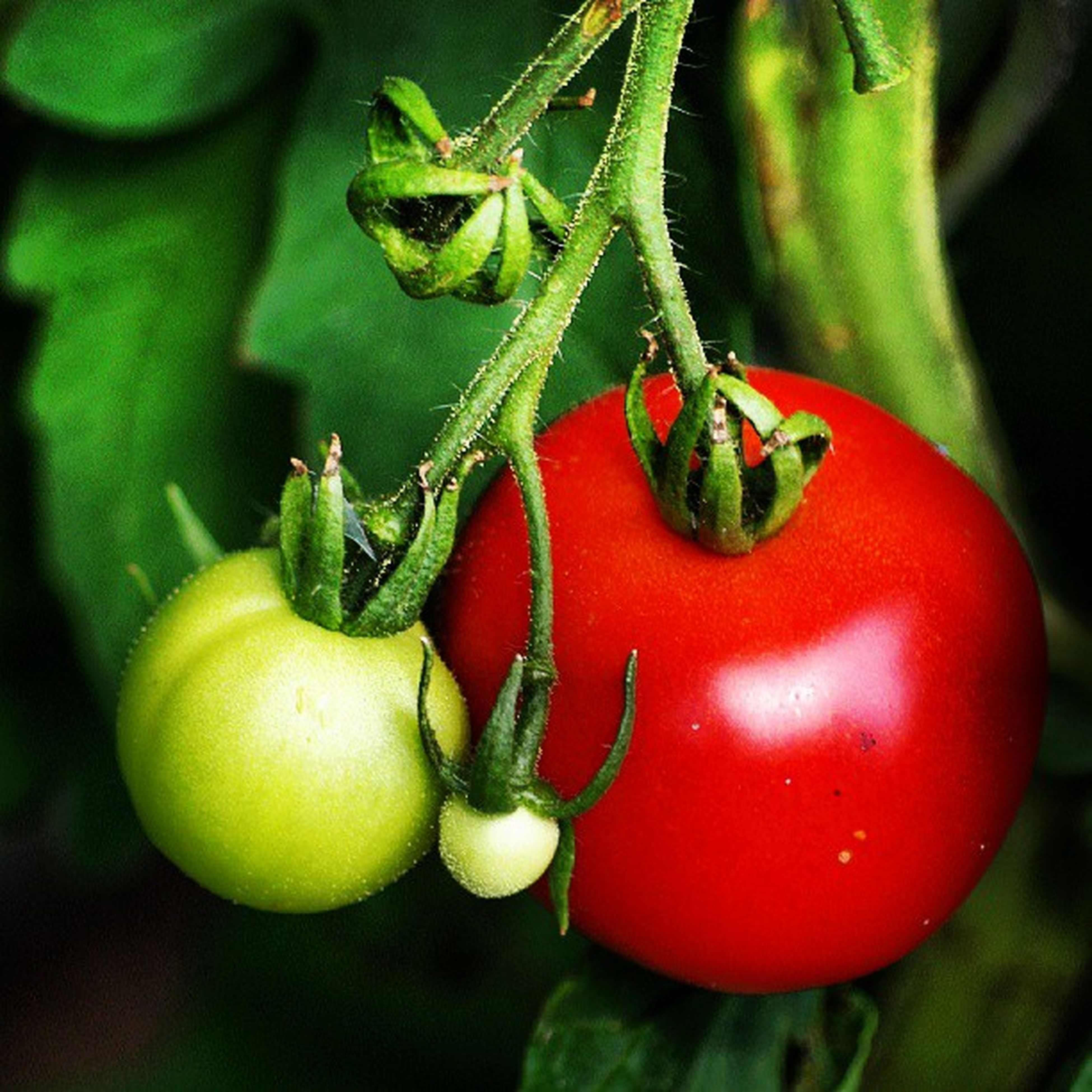 red, food and drink, healthy eating, food, tomato, freshness, vegetable, close-up, fruit, green color, focus on foreground, organic, leaf, selective focus, stem, no people, growth, ripe, raw food, nature