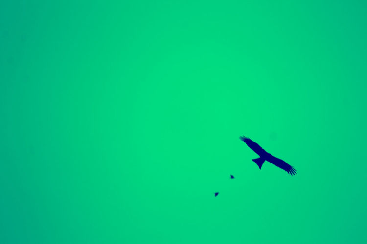 freedom Canon Canonphotography Canon1100d Copy Space Green Color Animals In The Wild Animal Themes Flying Animal Wildlife No People Bird Outdoors Day Nature Sky Mid-air Beauty In Nature