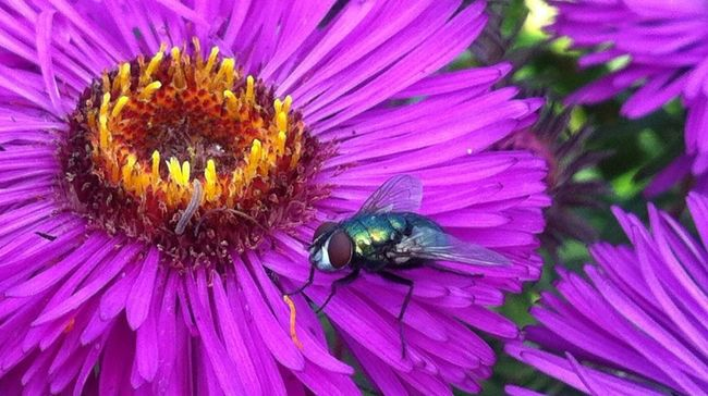 Planten Un Blomen Fly Purple Flower Macro Flowers, Nature And Beauty Naturelovers Macro Nature Insect Jopesfotos - Nature Jopesfotos - Bestefotos