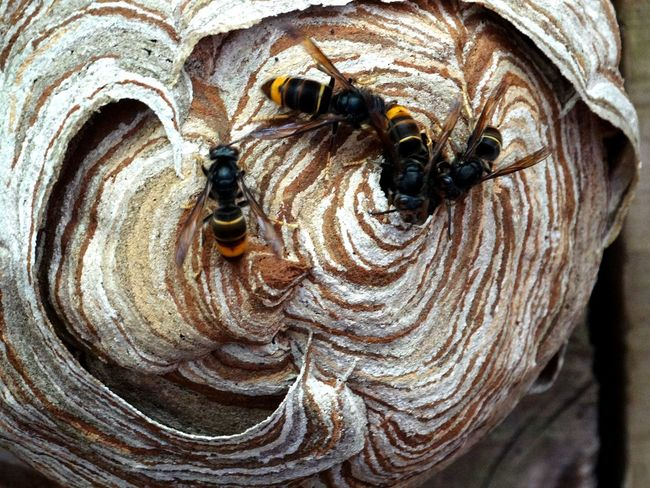 Sculptors, Wasps Nest Wasp Buzz Paper Wildlife Wildlife Photography Nature Nature Photography Relaxing Taking Photos Sting Check This Out Enjoying Life From My Point Of View Outdoors Outdoor Photography Pest Nest