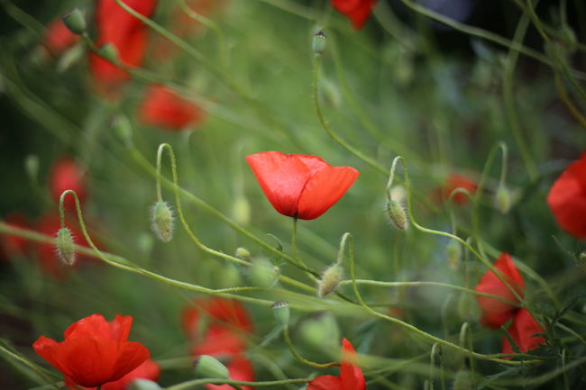 Beauty In Nature Close-up Day Flower Flower Head Fragility Freshness Green Color Growth Horizontal Leaf Nature No People Outdoors Plant Poppy Poppy Flowers Red Tree