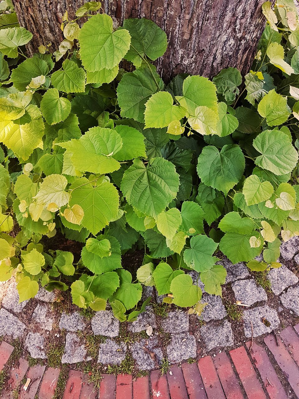 leaf, green color, plant, growth, day, outdoors, no people, ivy, nature, close-up