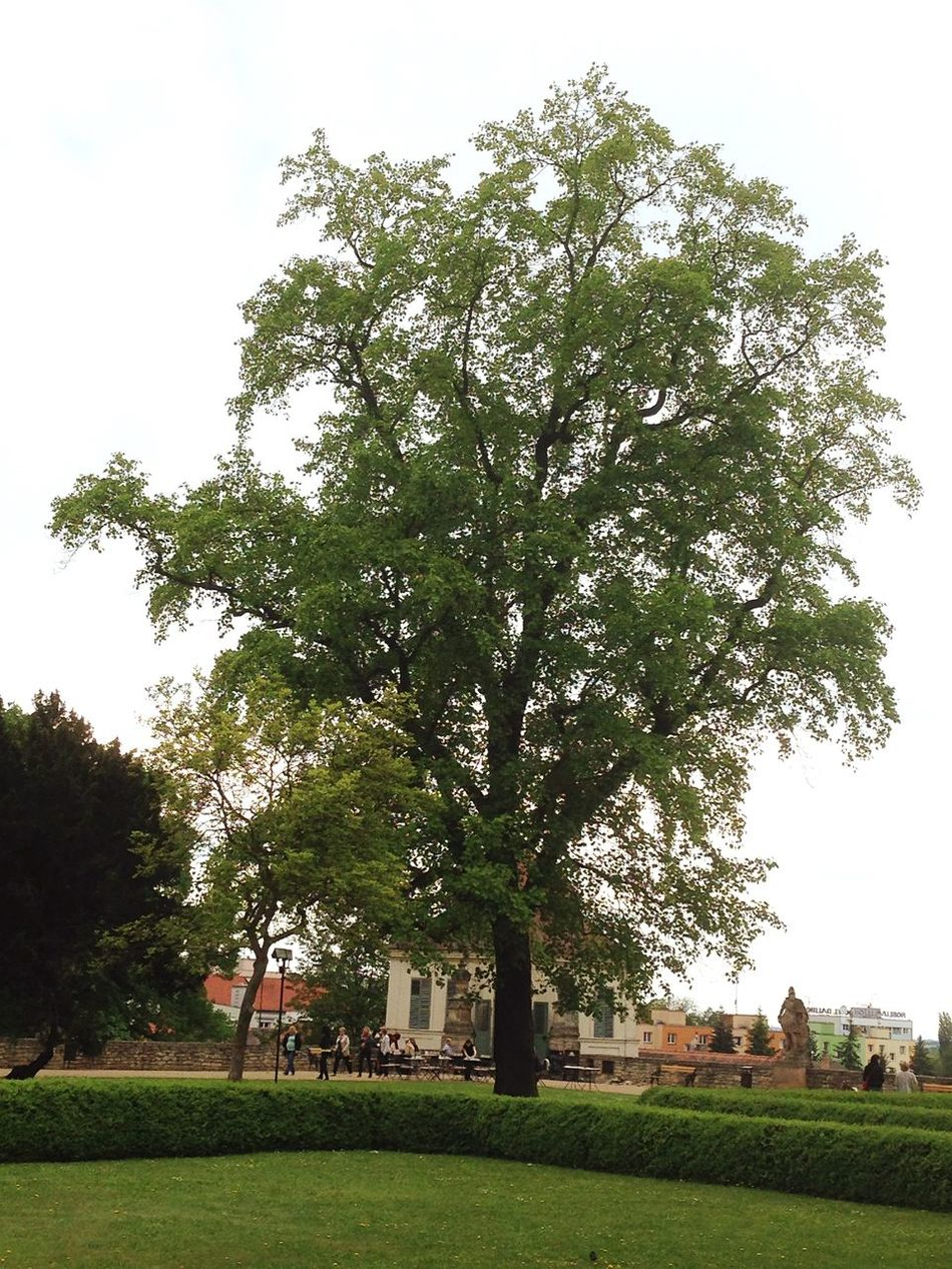 This is a Lime-tree - the Czech National Tree