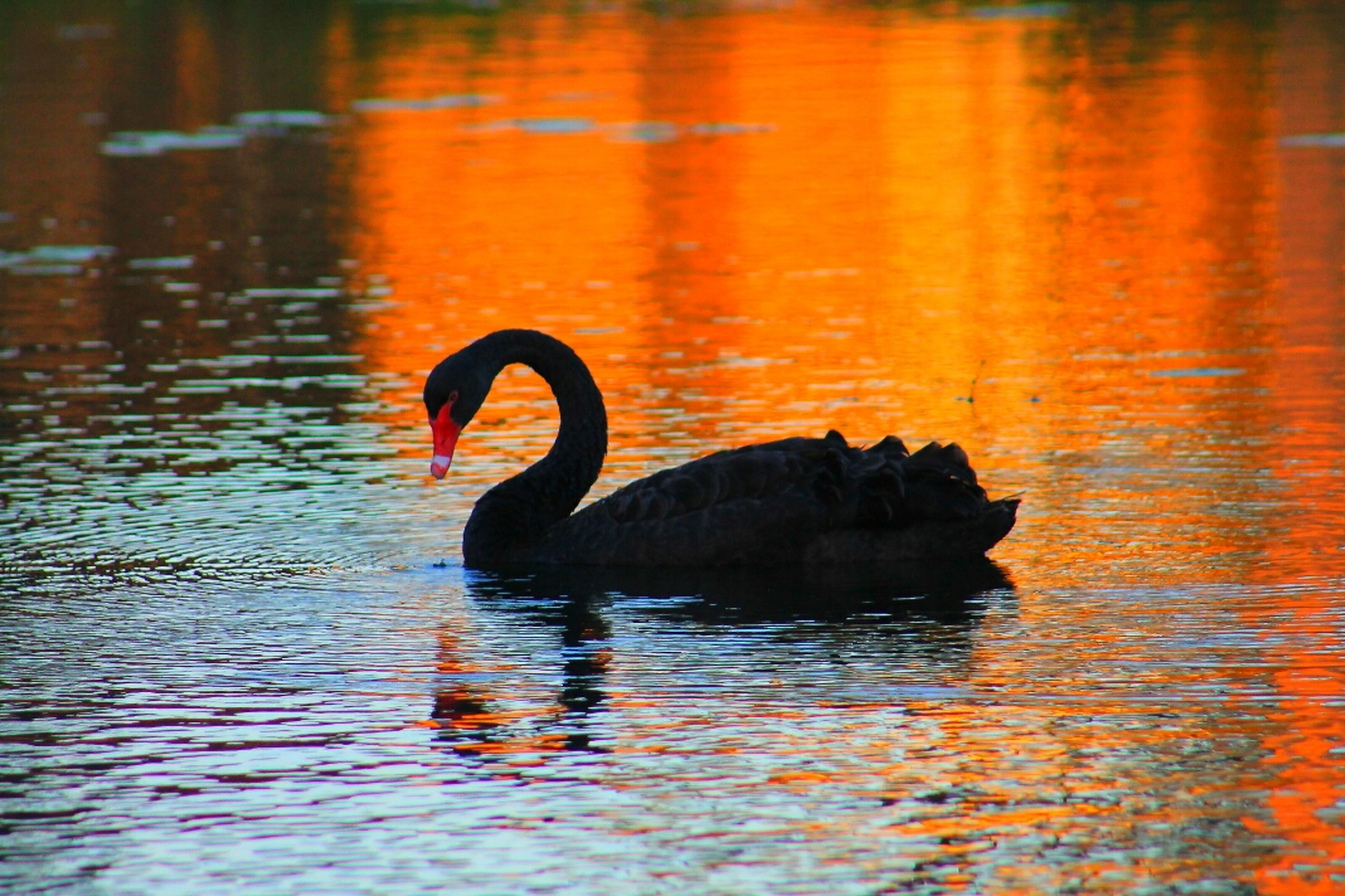water, animal themes, one animal, wildlife, waterfront, bird, reflection, animals in the wild, lake, swimming, rippled, orange color, swan, sunset, water bird, no people, nature, zoology, outdoors, two animals