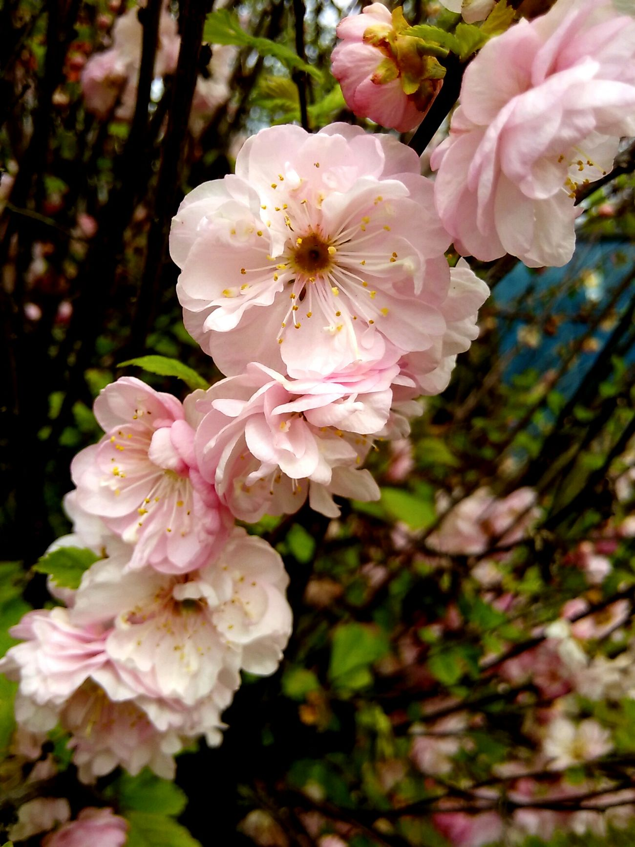 Flower Blossom Beauty In Nature Close-up Beautiful Flower Plant Springtime Prunus