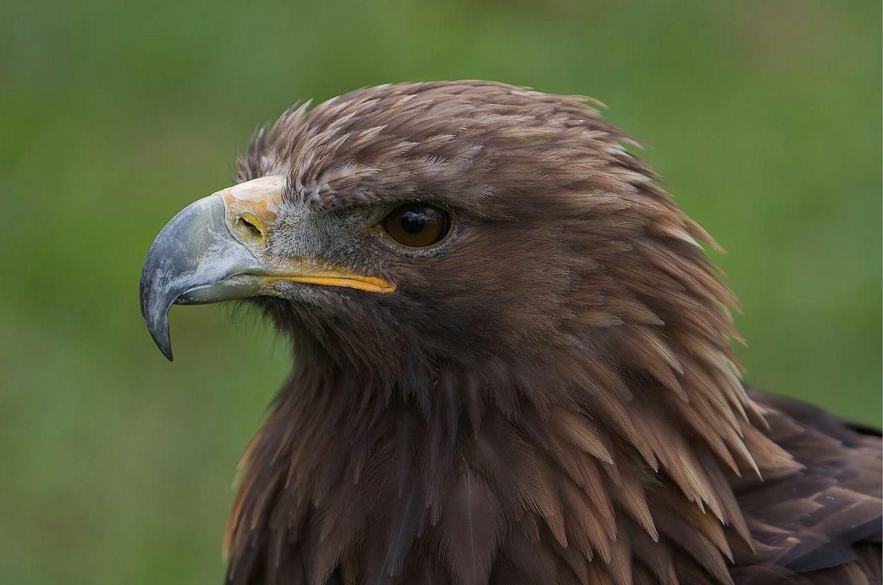 Eagle Aigle Predatory Bird Of Prey Bird Predator Oiseaux Animaux Wildlife & Nature Animal