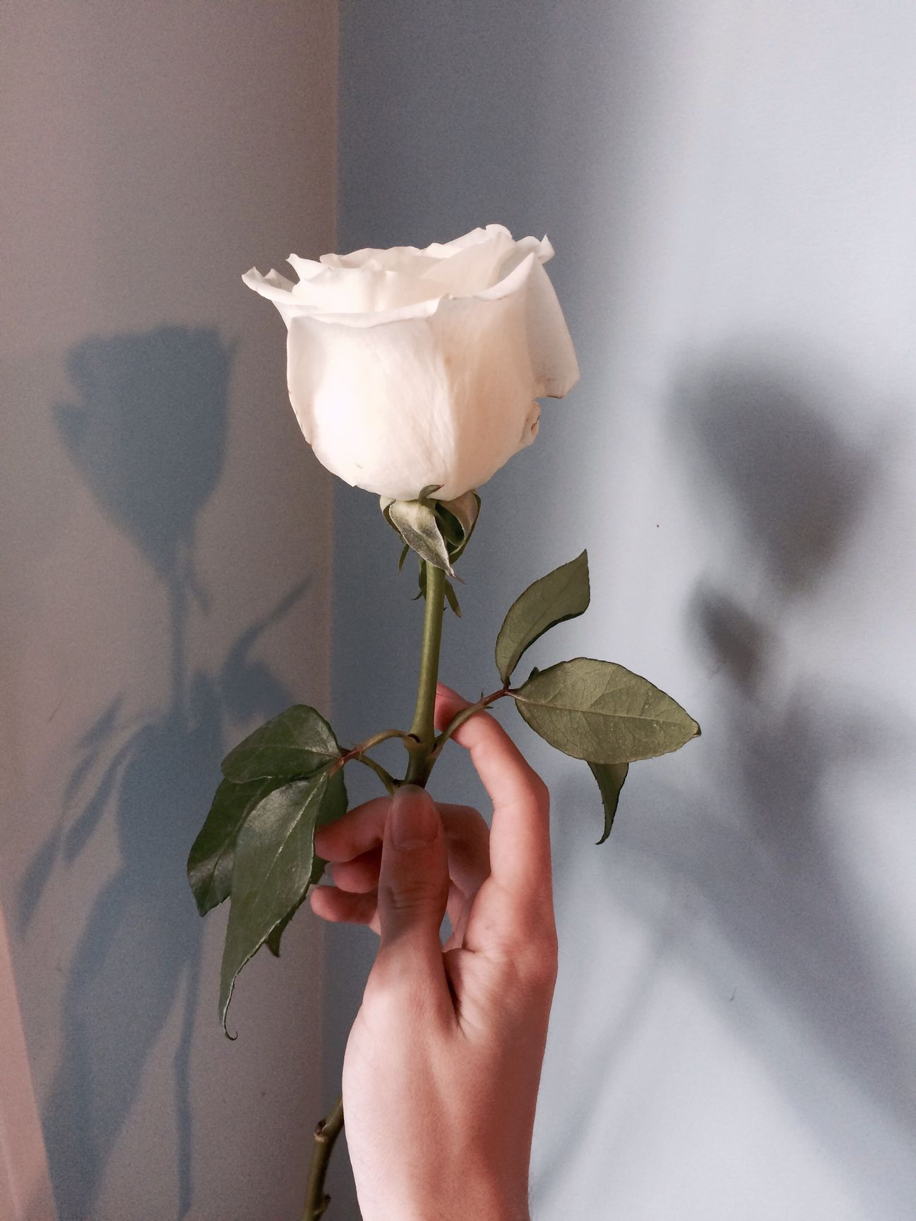 Flower Human Hand Human Body Part Nature Petal Close-up Holding Fragility Leaf Freshness One Person Plant Flower Head Beauty In Nature Real People Day Indoors  People Shadow Pastel Blue First Eyeem Photo