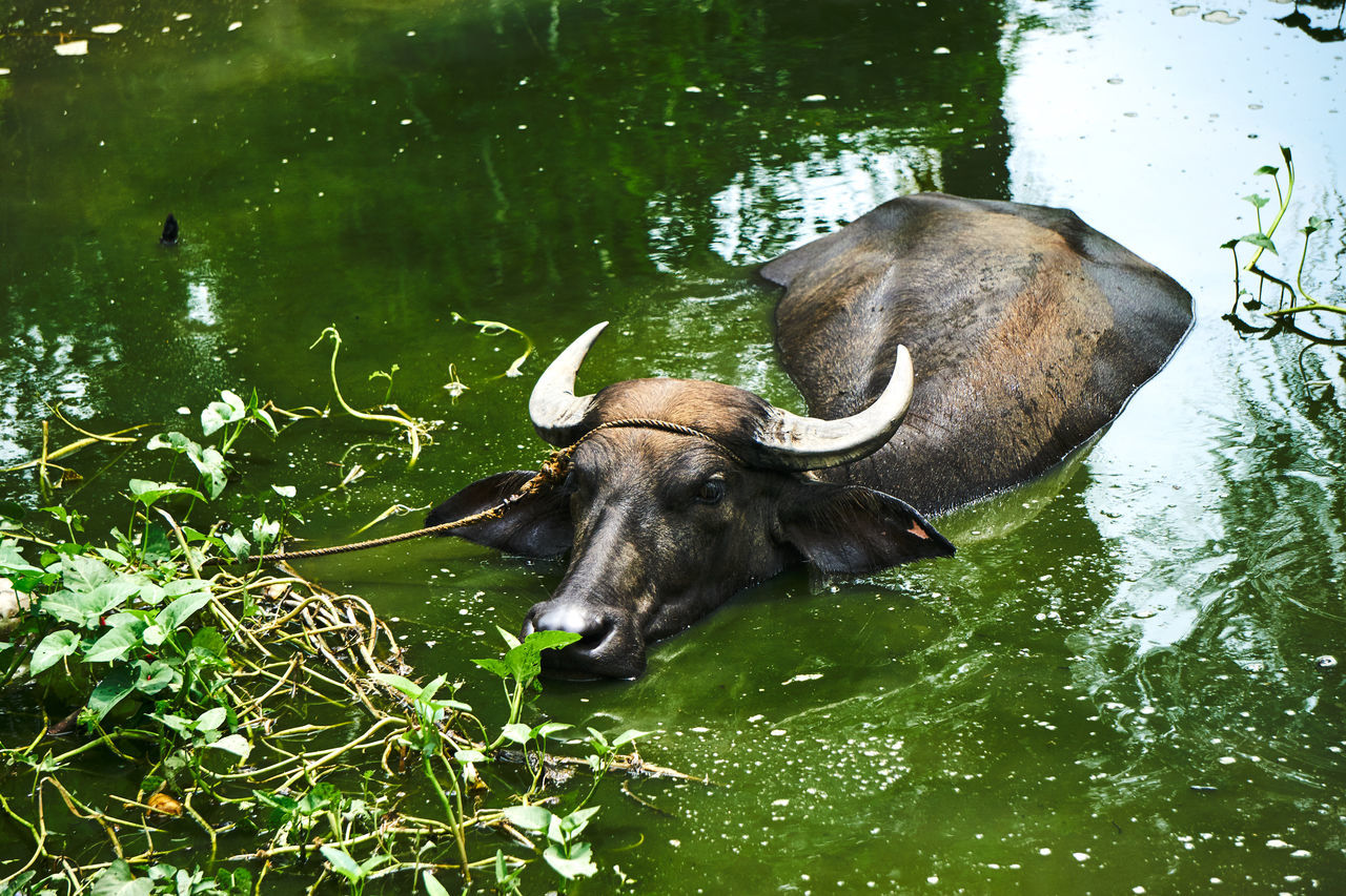 Philippines' Water Buffalos. Used by farmers to tilling the soild. Animal Animal Themes Beauty In Nature Buffalo Farm Animals Green Color Lake Mammal Nature No People Pampanga Philippines Sony A6000 Water Water Buffalo Wildlife & Nature Wildlife Photography Pampanga Pampanga Eyeem Philippines EyeEm Pampanga Showcase June