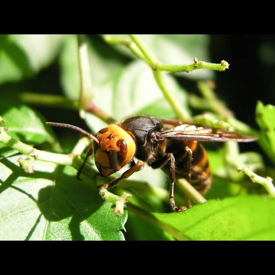 _Vespa analis_ in a gale Hornet Wasp Insects  Nature