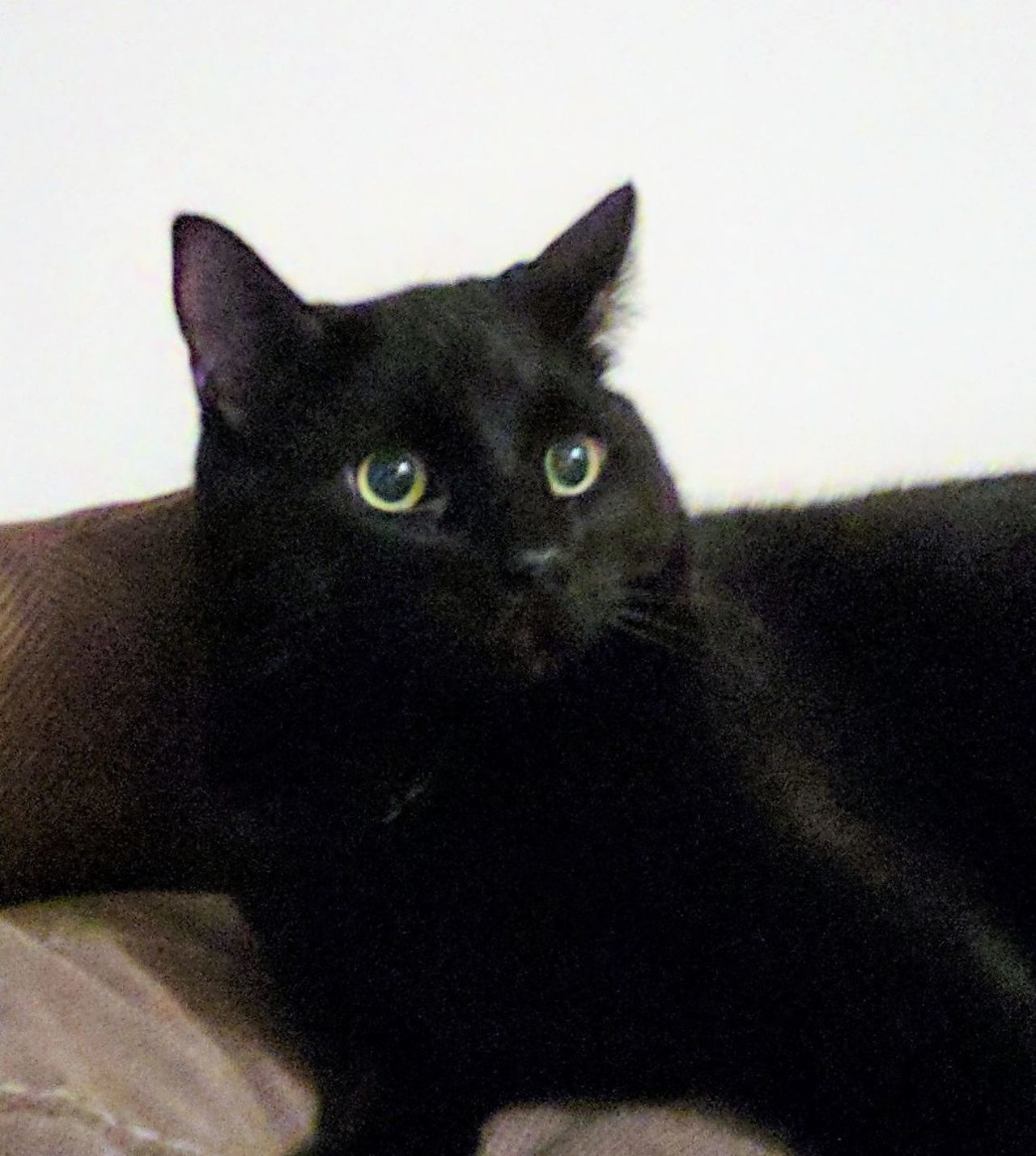 One Animal Pets Domestic Animals Domestic Cat Looking At Camera Black Color Portrait Indoors  No People Animal Themes Sitting Mammal Close-up Day Feline Black Cat Black Cats Are Beautiful Handsome