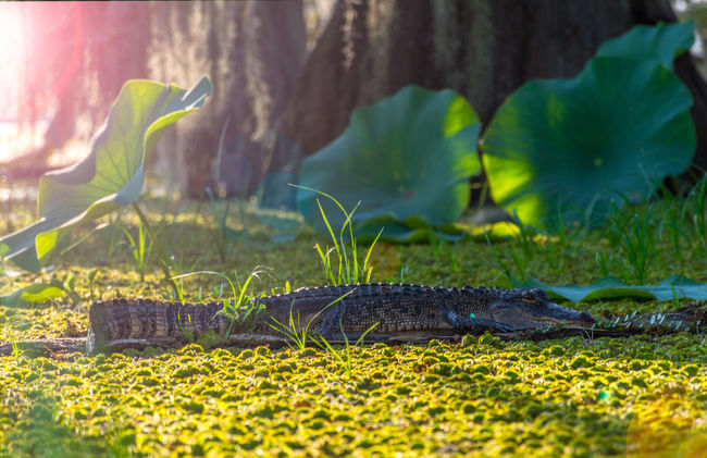 Louisiana Swamp Gato Sunset_collection Check This Out Hello World Taking Photos Protecting Where We Play