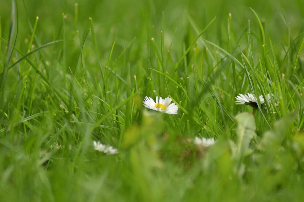 grass, flower, growth, nature, field, selective focus, green color, beauty in nature, freshness, fragility, outdoors, petal, day, plant, no people, flower head, close-up