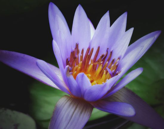 """""""Out of the mud of your fears, struggles, pain and confusion, the lotus flower of your inner heart will spontaneously grow.""""~Anon I Mus~ Nature Nature_collection No People Flower Lotus Lotus Water Lily Flowerporn Flowers, Nature And Beauty Eyeforphotography Nature_collection Nature Photography Naturelovers Violet Shine Photography Hi Helloworld Check This Out"""