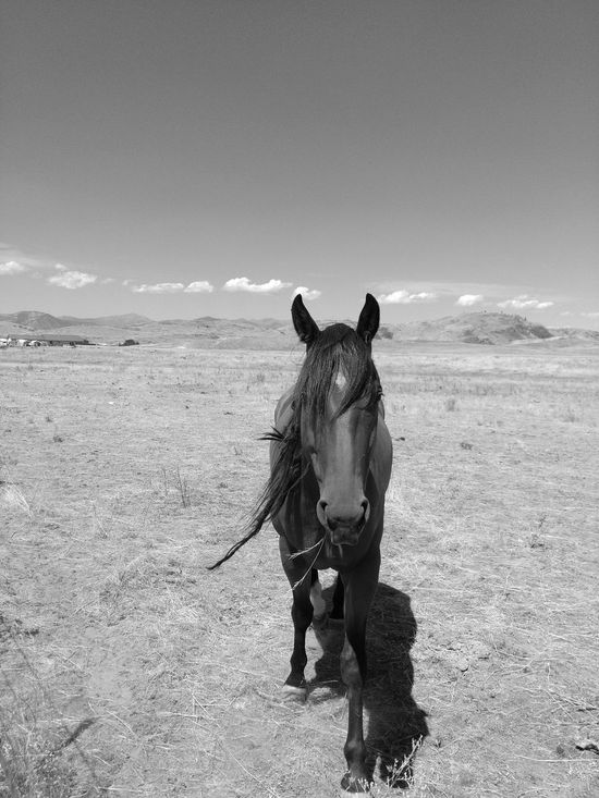 Animal Themes Outdoors Mammal One Animal Sand Domestic Animals Animal Day Nature Black And White Photography Black And White Monochrome Horses EyeEm Selects Agriculture Horse No People Shadow Clear Sky Animal Body Part Horse Mane Liv'n The Dream Walking Looking At Camera Forward Pet Portraits Lost In The Landscape Black And White Friday