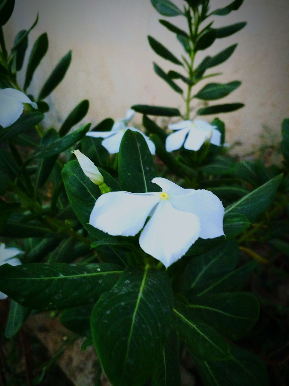 leaf, growth, petal, green color, plant, freshness, nature, fragility, beauty in nature, flower, close-up, flower head, day, no people, snowdrop, outdoors, periwinkle, blooming