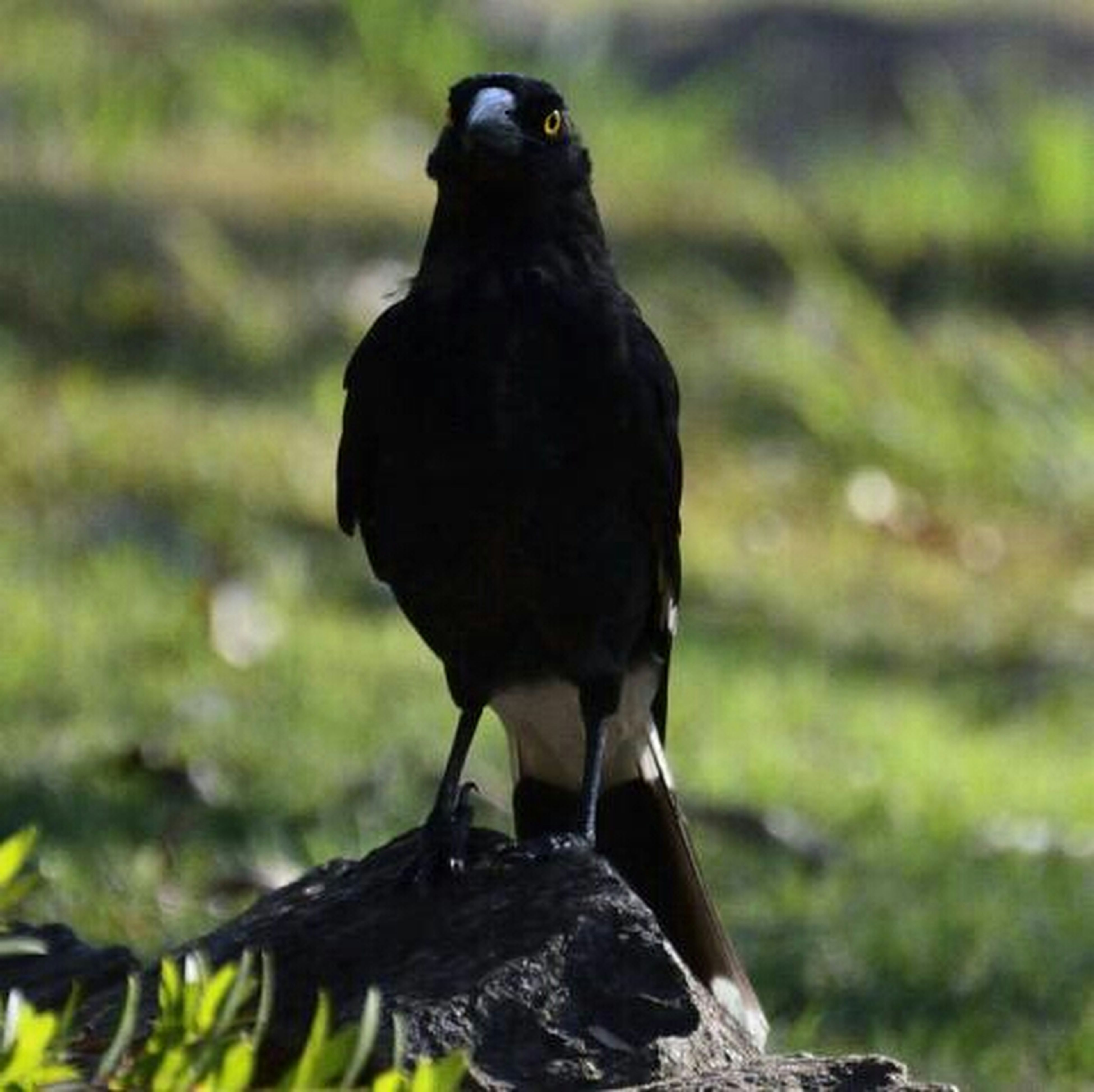 animal themes, animals in the wild, one animal, wildlife, bird, focus on foreground, close-up, black color, full length, perching, nature, side view, outdoors, day, no people, looking away, zoology, selective focus, field, beak