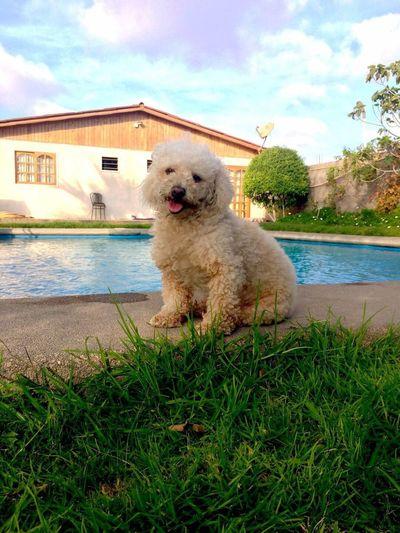 Addu Caniche Canichetoy Toy Sun Summer Poodle Pet Pets Dog Dog Love