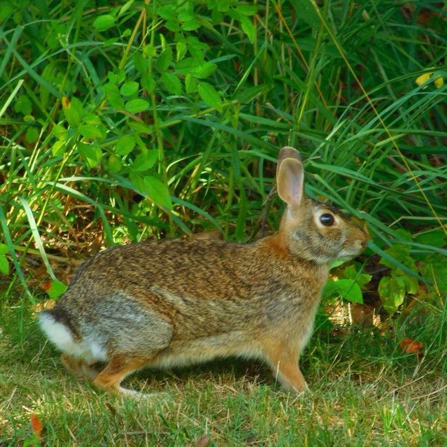Scenes from my backyard :) Rabbits Rabbits 🐇 Wildlife & Nature Wildlife Bunny  Beautiful Nature Outside Photography Streamzoofamily Massachusetts Outdoor Pictures New England  Huffington Post Stories EyeEm Nature Lover