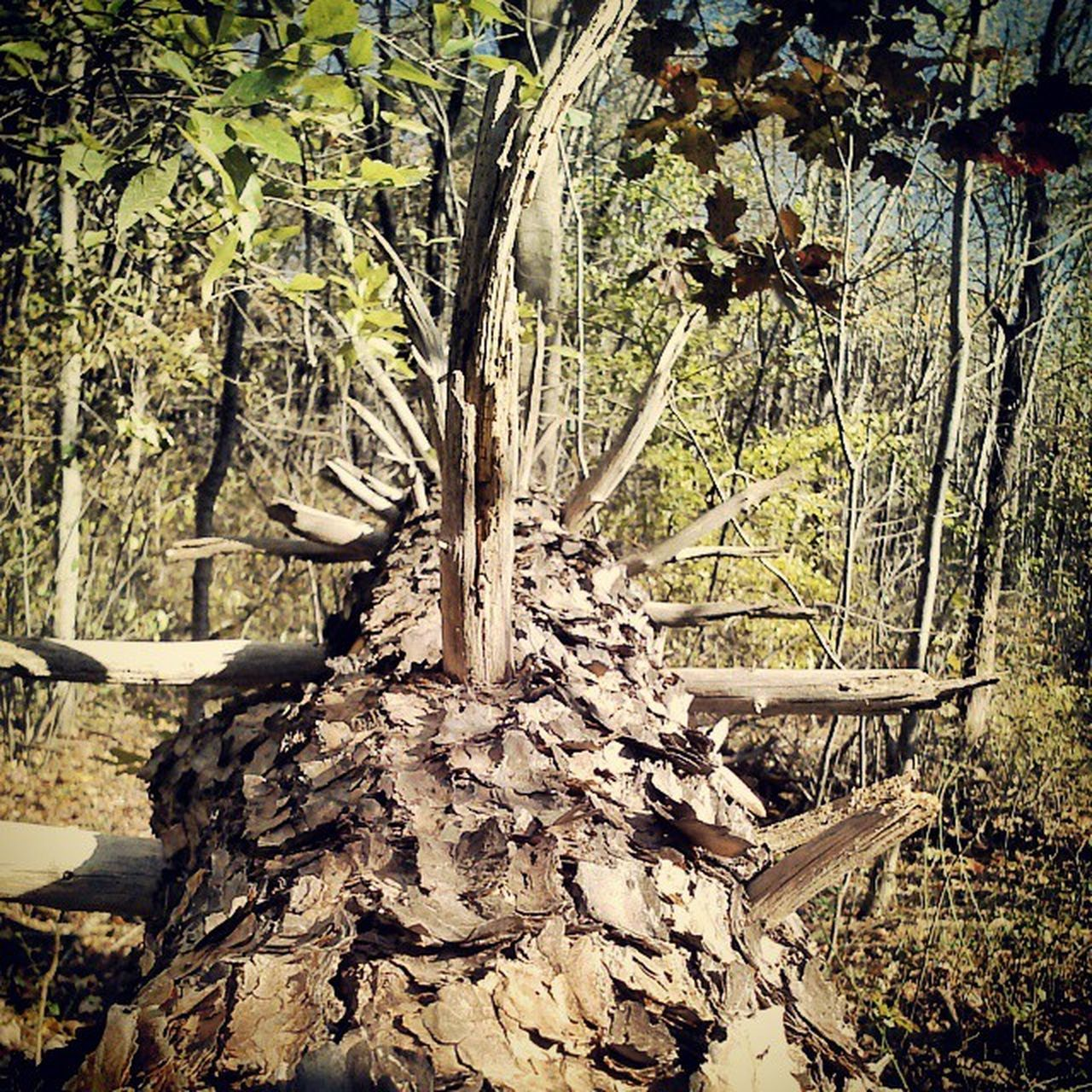 tree, tree trunk, nature, day, forest, no people, growth, environment, outdoors, tranquility, branch, dead tree, beauty in nature, close-up