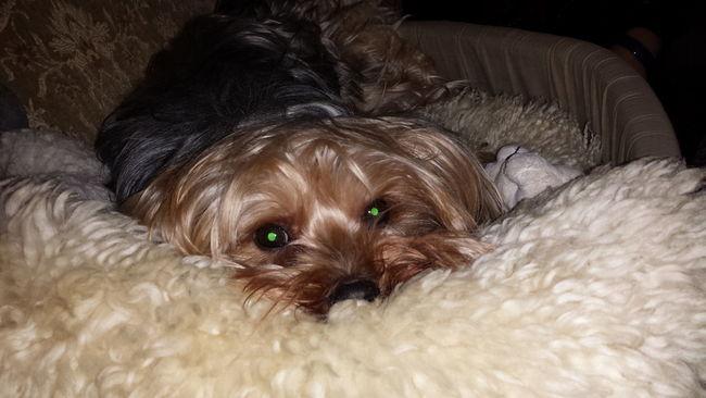 My Dog I Love My Dog Tobia 2015  Dog❤ Yorkshire Terrier Semplicity Dogslife Nanna Riposino Nun Me Rompe Li Cojoni non disturbate i canini tranquilli che poi......