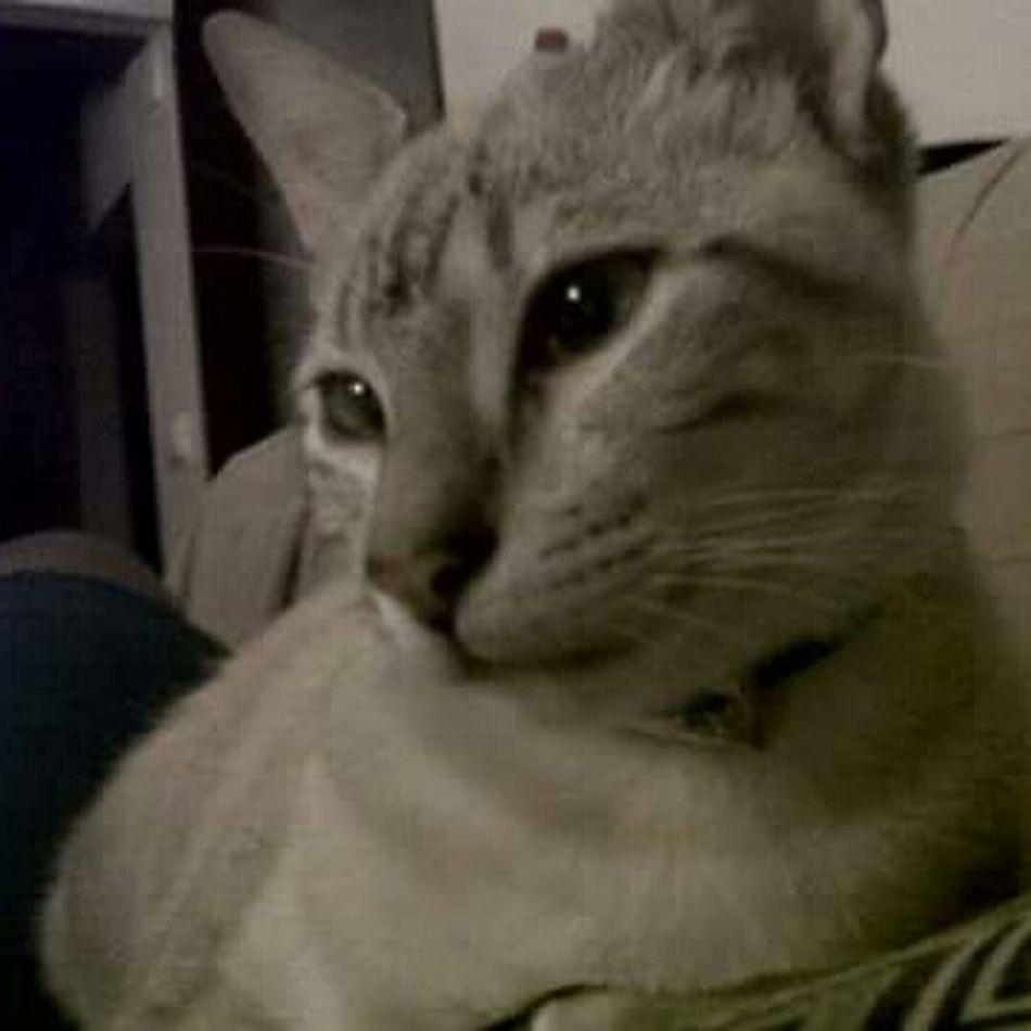 Mycat♥ TIGRE❤ Lindo Da Mamae♡ Lovecat💜 Catpet♡
