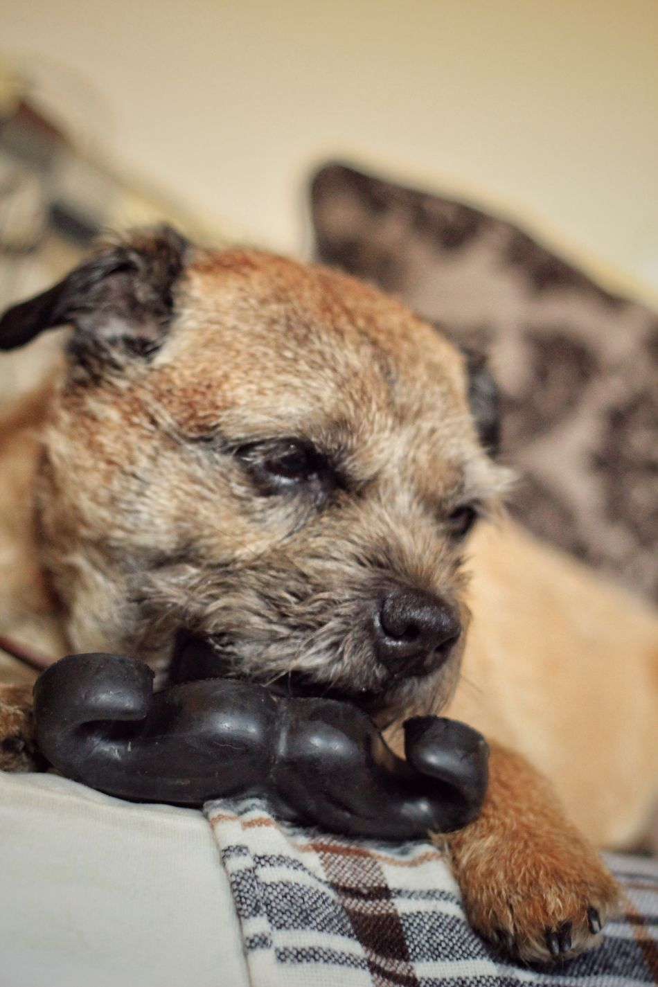 Dog Pets One Animal Domestic Animals Mammal Animal Themes Indoors  Relaxation Lying Down Home Interior No People Dog Love Dog❤ Dog Photography Dogs Of EyeEm Pet Photography  Canon Dogs Boarder Boarderterrier Terrier Leeds, UK Close-up Day