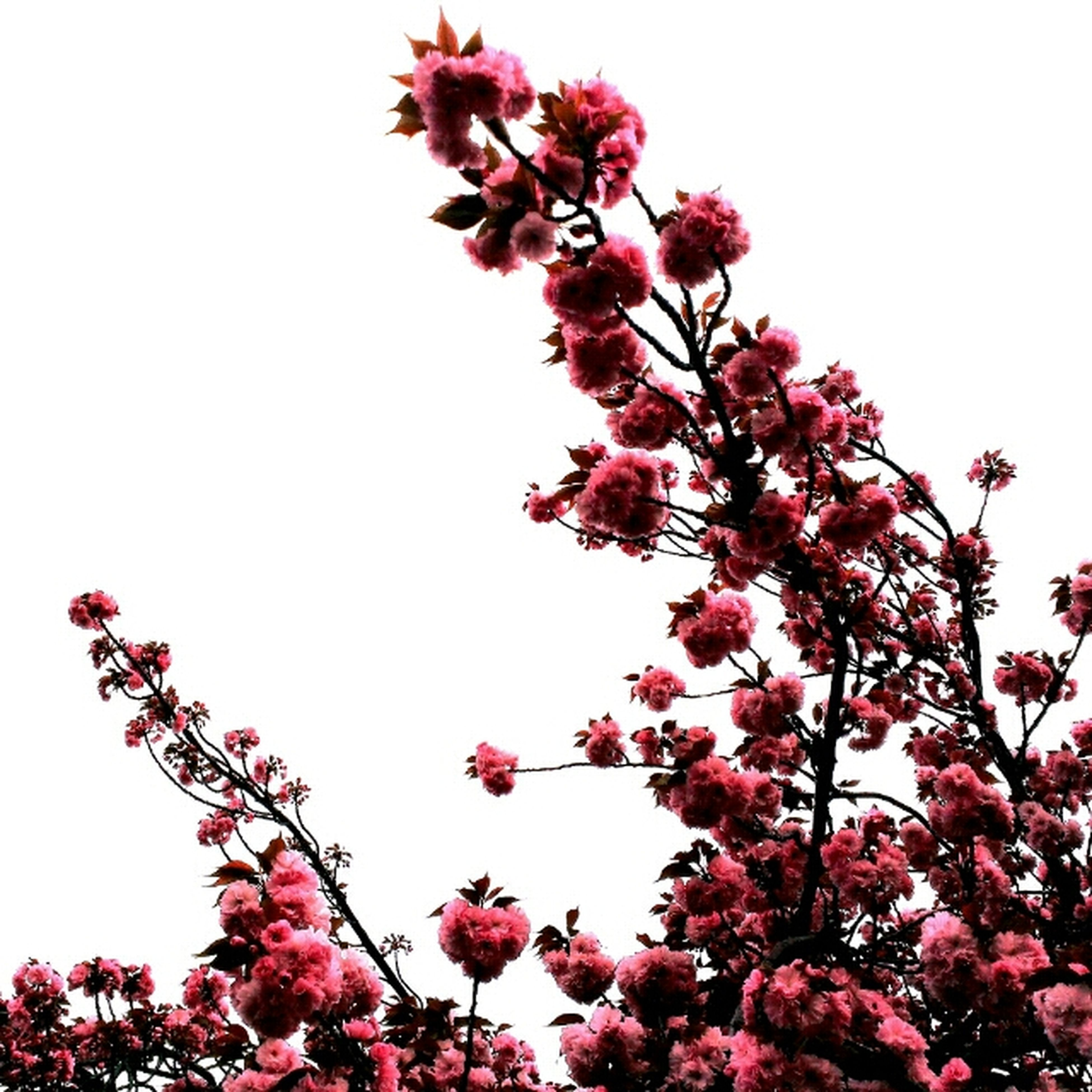 flower, clear sky, low angle view, freshness, growth, pink color, tree, beauty in nature, branch, fragility, nature, copy space, blossom, red, blooming, pink, day, in bloom, outdoors, springtime