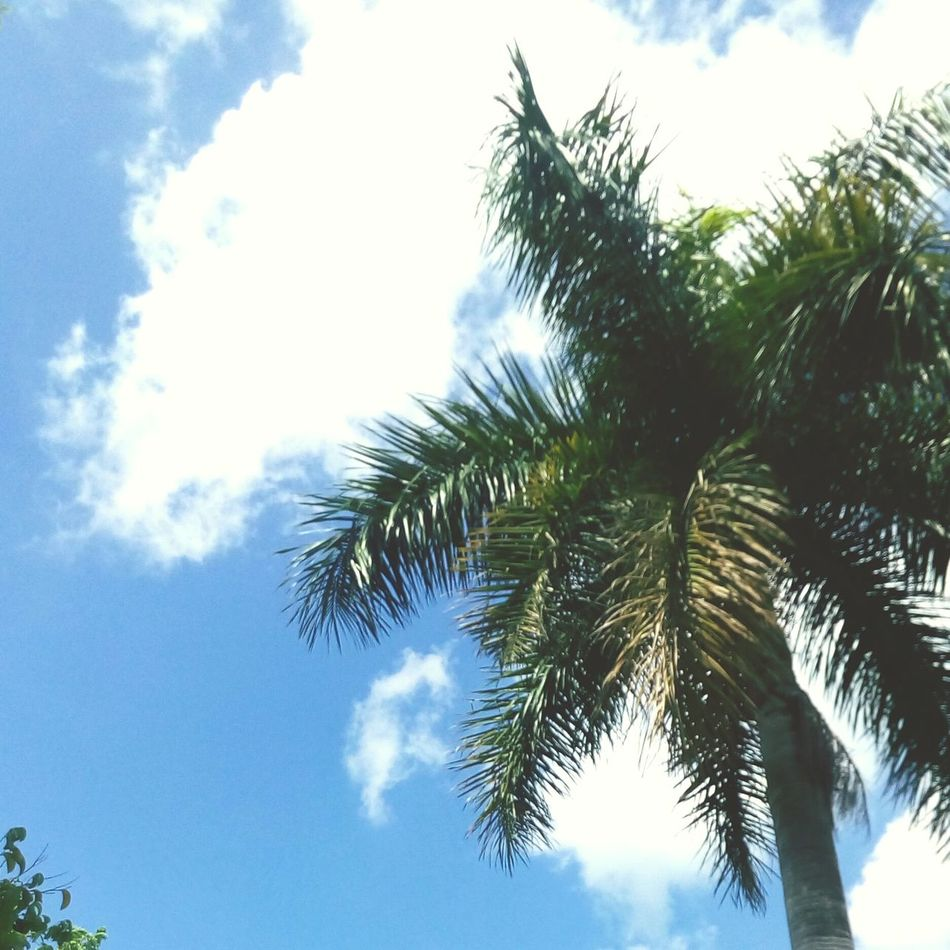 At UPLB Summertime Palm Tree Nature PhonePhotography
