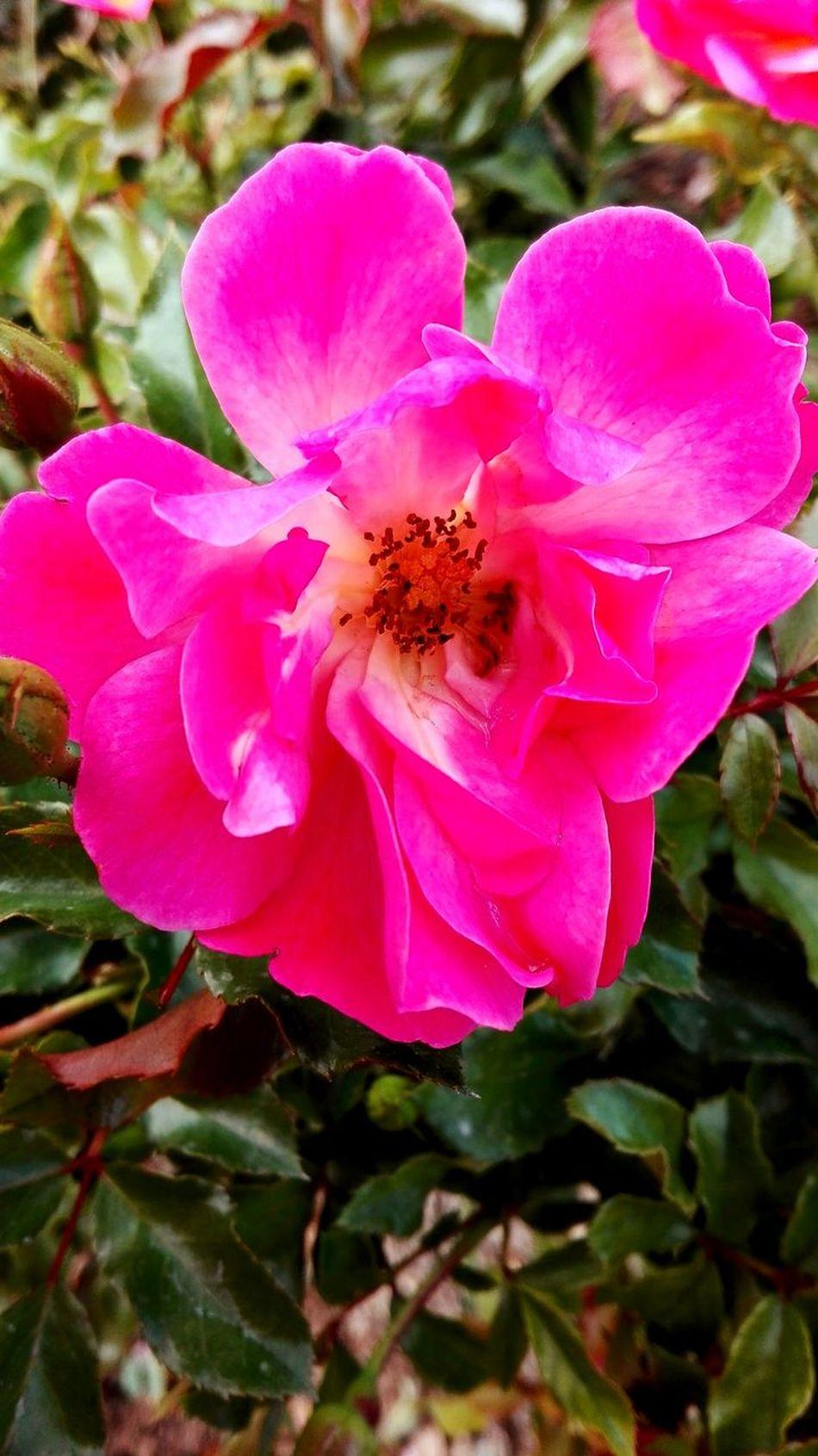 Pink Color Petal Flower Beauty In Nature Nature Fragility Flower Head No People Plant Close-up Orchid Growth Pollen Outdoors Leaf Freshness Day HDR çiçek Bahce Cicekler Konya Konyagram Mevlana Muzesi Huaweip8 Lite