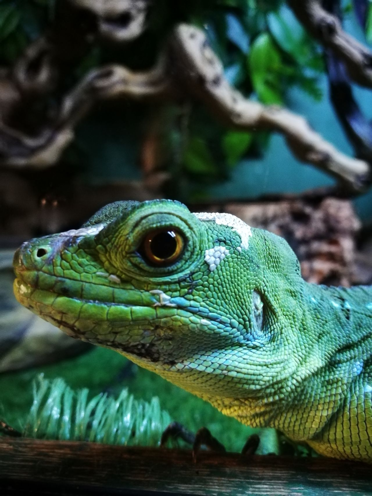 Reptile Animal Wildlife Reptile One Animal Animals In The Wild Outdoors Day No People Close-up Animal Themes Iguana Nature Tree Portrait Beauty In Nature