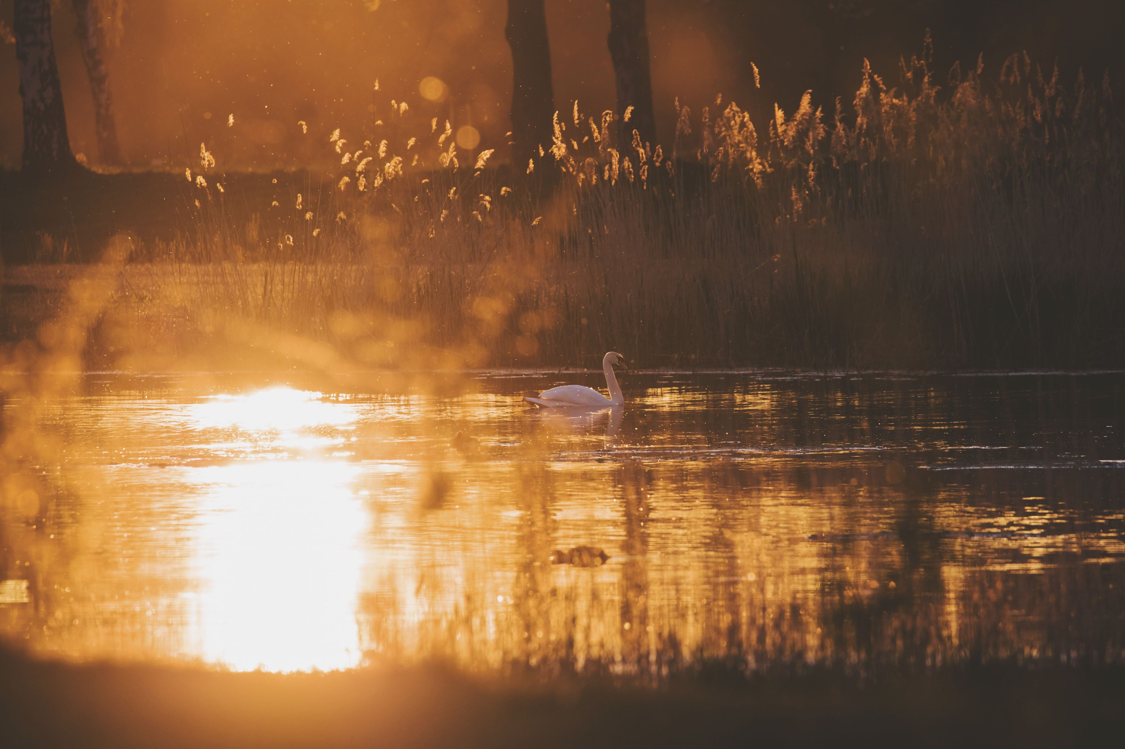 water, reflection, animals in the wild, sunset, swimming, nature, lake, one animal, bird, animal themes, animal wildlife, beauty in nature, outdoors, no people, scenics, day, swan
